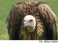 Ruppell Vulture
